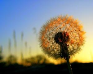 dandelion senja