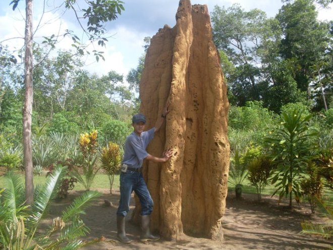 sarang rayap 6 meter